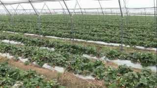Owoce jagodowe w tunelach - na zagonach czy na rynnach?
