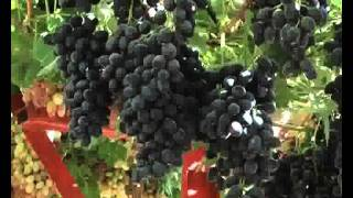 Farmers in the cultivation of grapes distinct in Dahuk