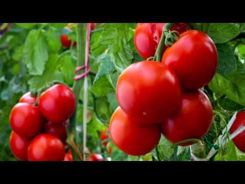 Полив томатов и его особенности