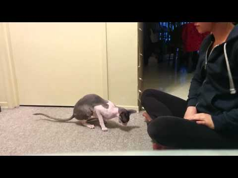 Very good Cornish Rex cat does dog TRICKS!