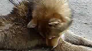 川上犬の子犬を洗った後に、身体を舐めている動画です。