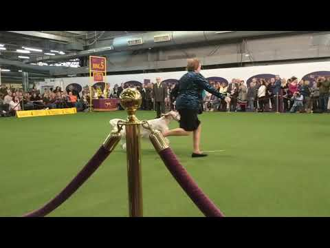 English Setter 'Penny' with other Setters in Breed at Westminster 2019