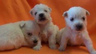 ウエストハイランドホワイトテリアの子犬です。 子犬の詳細は → http://...