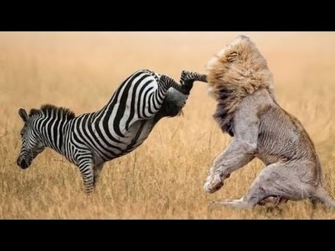 when-prey-fights-back-|-most-amazing-animal-attack-fails-2016