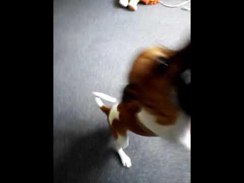 Miniature fox terrier Basil brush .