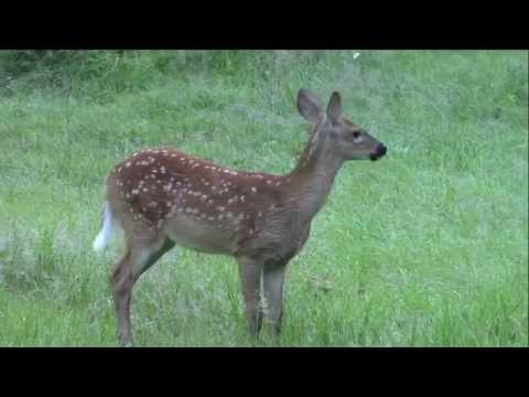 Ever Hear a Fawn Bleat?