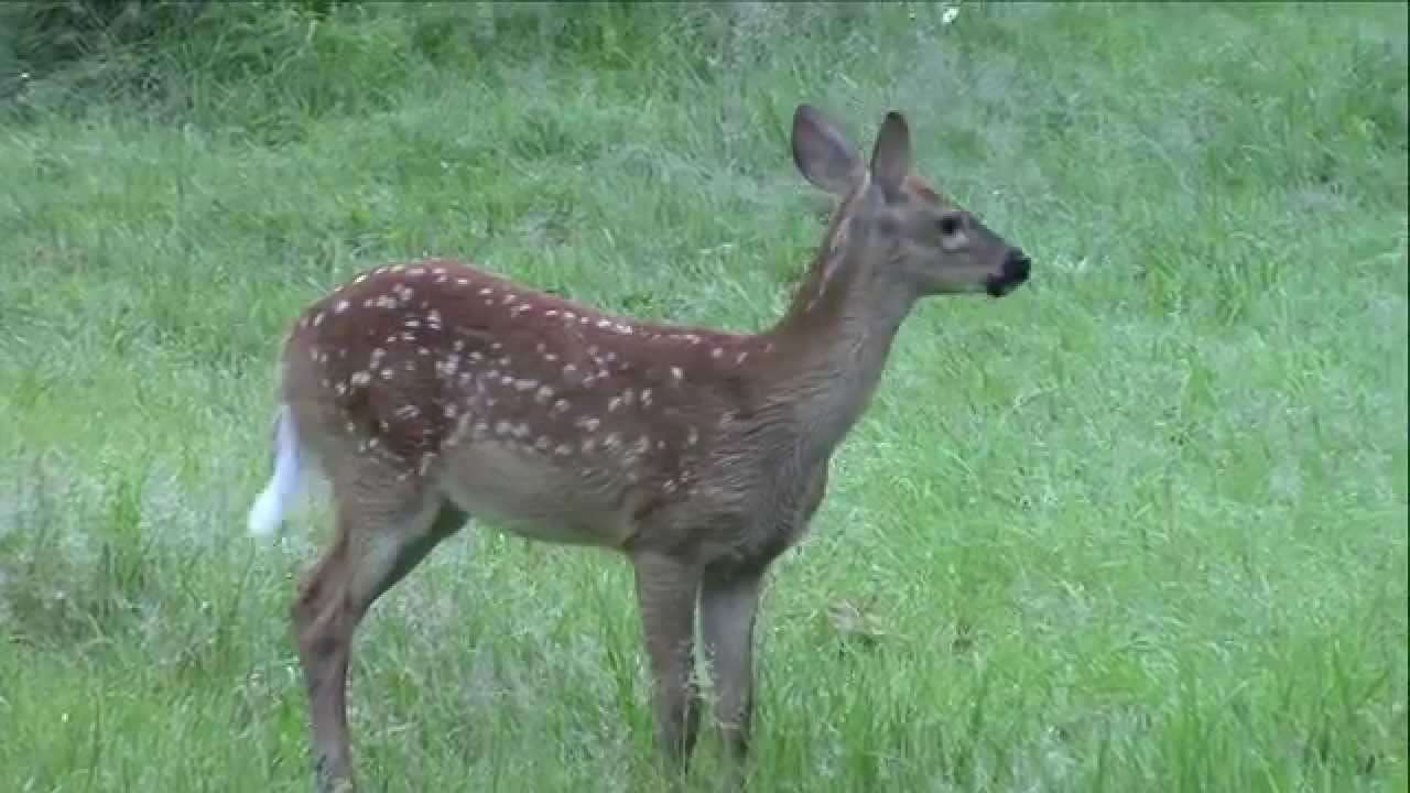 Ever Hear a Fawn Bleat? - YouTube