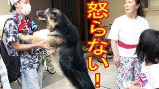 大型犬#ジャーマンシェパード犬 マック君朝散歩も終わり ノンビリ過ごし...