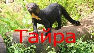 Тайра — вид хищных млекопитающих из семейства куньих .