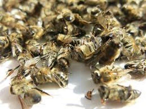 настойка пчелиного подмора для лечения простатита