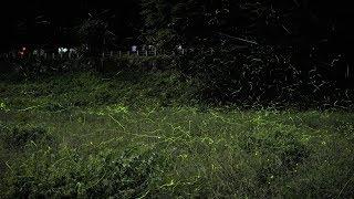 2019年第71回辰野ほたるまつり ほたる童謡公園でゲンジボタル乱舞
