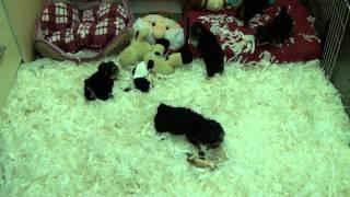 Little Rascals Uk Breeders New Litter Of Morkie Little Boys And Girls
