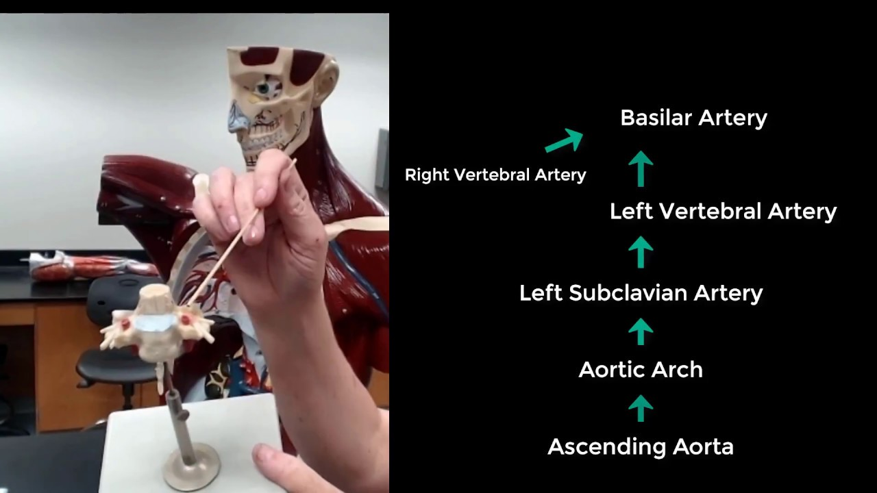 The Vertebral Arteries The Pathway From The Heart To The Brain Via