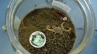Ataque de escorpião a uma barata - experimento