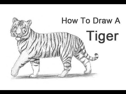 Tiger head drawing tutorial - photo#19
