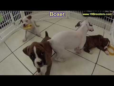 Boxer, Puppies, Dogs, For Sale, In Kansas City, Missouri, MO, 19Breeders, Springfield