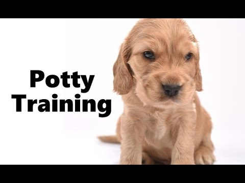 How To Potty Train An English Cocker Spaniel Puppy - English Cocker Spaniel Training Puppies