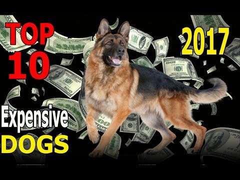 Top 10 Most Expensive Dog Breeds in 2017 | Top 10 animals