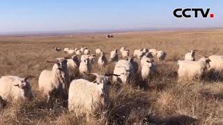 百村脱贫记 内蒙古鄂尔多斯巴音陶勒盖嘎查 智慧牧场带来新改变 |《中国新闻》CCTV中文国际 - YouTube