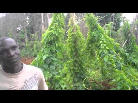 Cocoa Farmers in Ivory Coast Eating Hershey's Chocolate