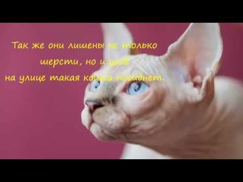 Коты без шерсти фото -
