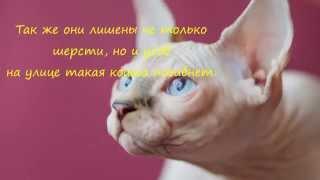 Сфинкс Порода кошек.