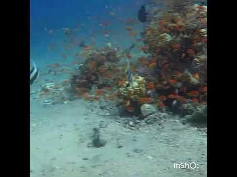 Dancing Banner Fish of Red Sea