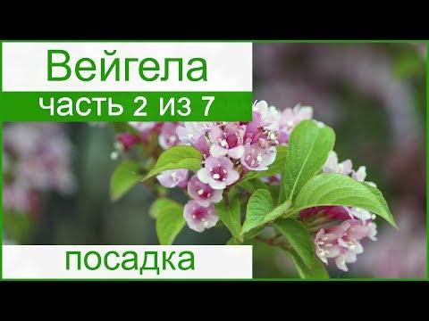 🌸 Посадка вейгелы в открытом грунте: как и когда сажать вейгелу в саду