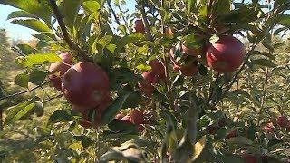 Рекордный урожай яблок: почему фермеры не радуются?