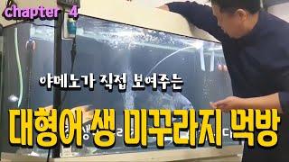 대형어 생먹이(미꾸라지) 주기 by 야매노