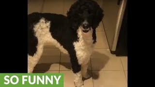 Poodle wins 'Golden Retriever Egg Challenge' with ease
