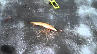 Video Little Wolf Lk Lewiston Mi 3_18_12 High 75 Degrees 2nd Pike today.mp4 download MP3, 3GP, MP4, WEBM, AVI, FLV Agustus 2017