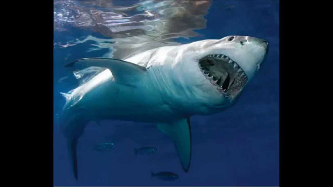 Great Shark White Largest