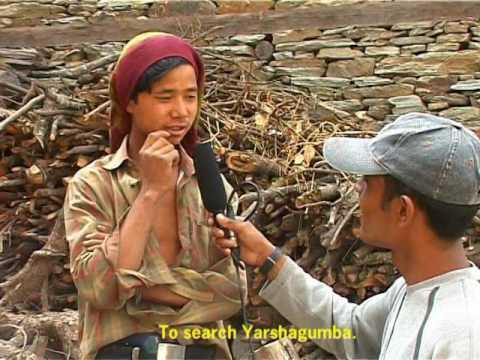 Yarshagumaba HD (Himalayan viagra) Medical Boon To The Mountains.part- 1
