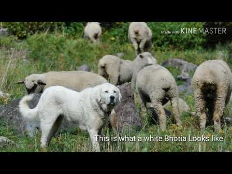 भोटिया कुत्ता भेड़ों को कैसै हांकता है??, how sheepdog herd sheeps??
