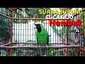 Cucak Ijo Gacor Bongkar Isian Ampuh Juga Buat Pancingan Masteran  Mp3 - Mp4 Download