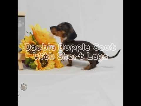 Teacup Dachshund Puppies For Sale Molly Youtube