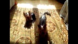 Йоркширские терьеры мини и супер мини  (yorkshire Terrier Kennel Golddust, Chocolate, Biewer, Biro)