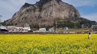 산방산과 아름답게 핀 노란 제주 유채꽃의 아름다운 조화
