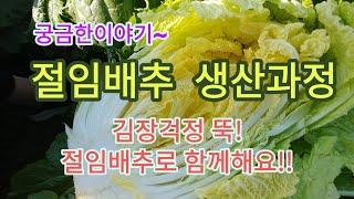 [배추재배] 절임배추 생산과정을 공개합니다~~