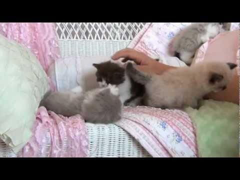 Doll Face Persian Kittens | Better Business Bureau® Profile