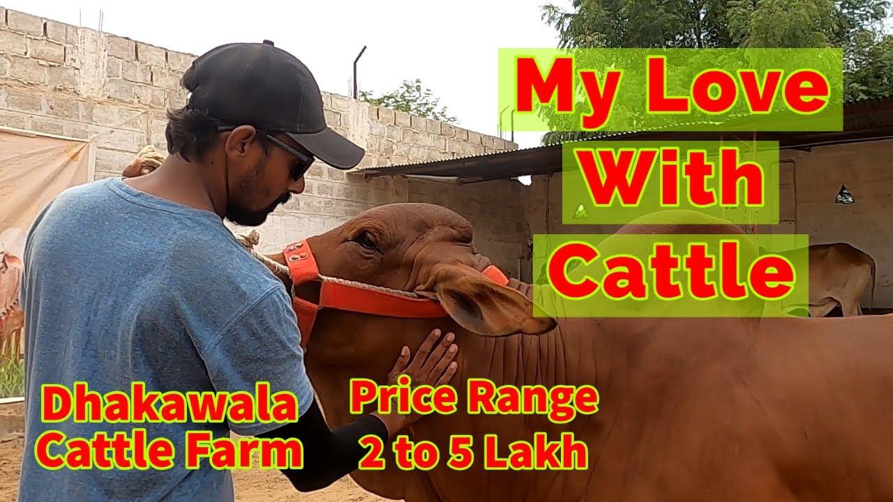 My Love With Cattle - Dhakawala Cattle Farm