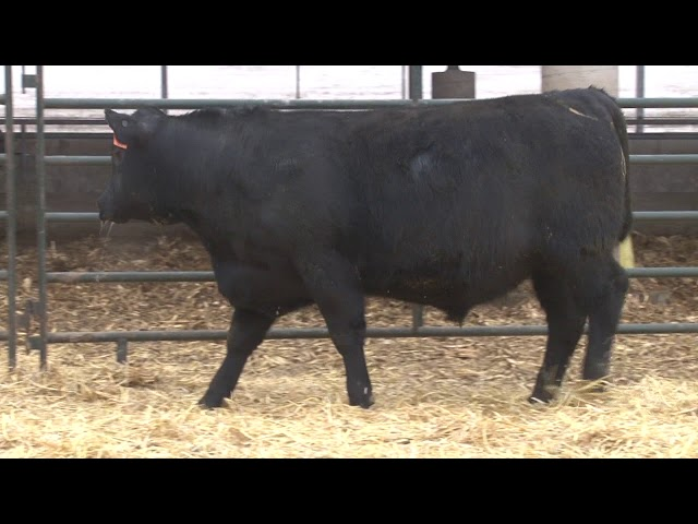 Schiefelbein Angus Farms Lot 323
