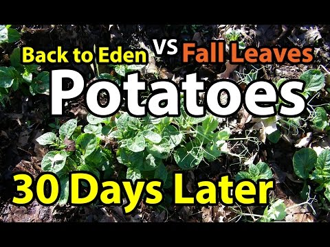 30 Days Later Potatoes- Back to Eden Organic Gardening 101 Method in Wood Chips VS Composting Leaves
