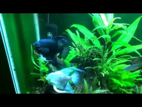 About The Pinoy Angelfish