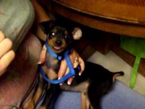 Miniature Pinscher Min Pin Boo Boo Puppy Hates Taking