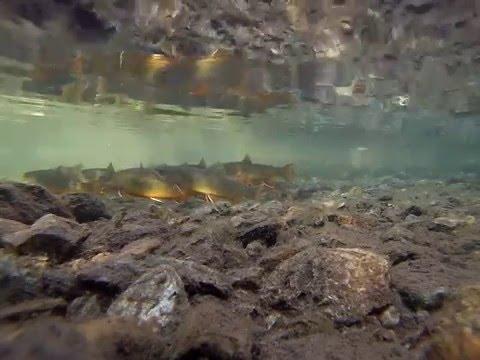 Brook Trout in Mountain Stream Western Washington