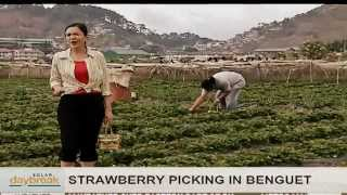 SOLAR DAYBREAK: Strawberry Picking in La Trinidad, Benguet
