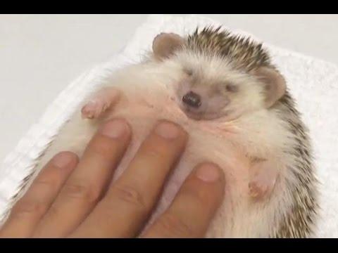 44++ Cute pet hedgehog videos ideas in 2021