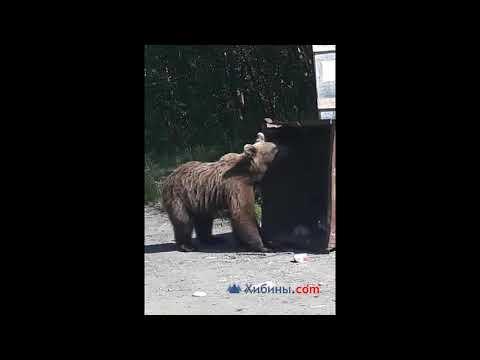 Медведь в Оленегорске